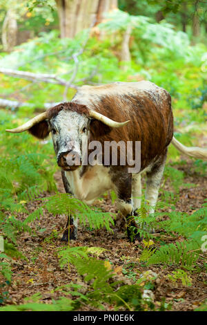 English Longhorn Cattle grazing in the depths of Sherwood Forest - Stock Photo