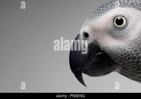 a close up of an african grey parrot - Stock Photo