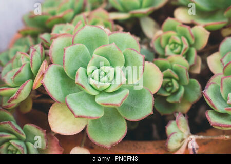 Macro of intricate succulent Echeveria plant shaped like a rose, from Crassulaceae family. Shallow depth of field. Stock Photo