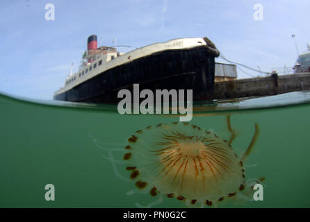 Split level shot of a compass jellyfish in the Port of Southampton near the historic steam ship the Calshot. - Stock Photo