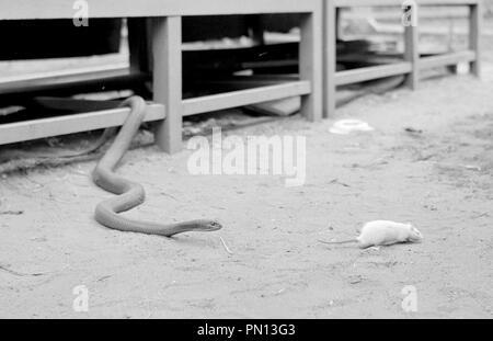 Montpelier snake eating a white rat - Stock Photo