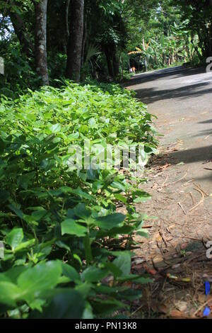 Stevia rebaudiana - Medicinal plant beside the Road - Stock Photo