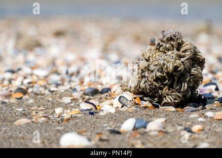 Egg capsules of veined rapa whelk thrown to the seashore (Rapana venosa) - Stock Photo