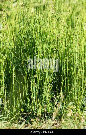 Herb of field horsetail (Equisetum arvense)