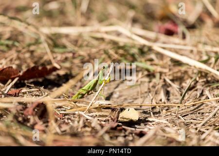 Praying mantis sits among dry, withered grass (Mantis religiosa) - Stock Photo