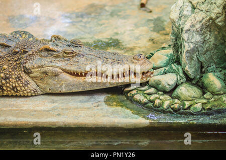 The crocodile is angry and open jaws ready to strike - Stock Photo