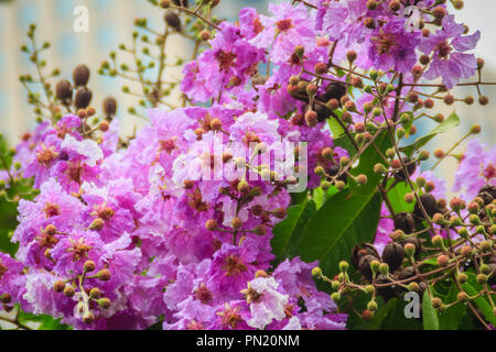 Beautiful purple flower of Lagerstroemia speciosa (giant crape-myrtle, Queen's crape-myrtle, banaba plant for Philippines, or Pride of India), species - Stock Photo
