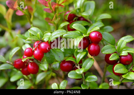 Red Lingonberries, Vaccinium vitis-idaea, growing on forest floor in Finland. - Stock Photo