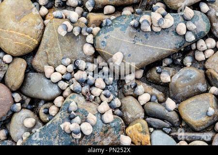 Winkles on the beach near Poppit Sands, near Cardigan, Ceredigion, Wales - Stock Photo