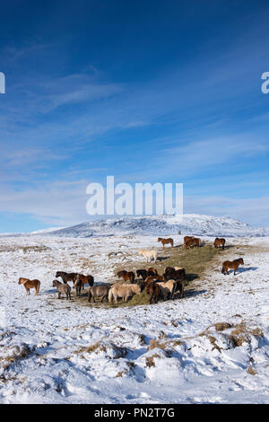 Herd of Icelandic ponies in glacial landscape of South Iceland with Uthlioarhraun mountains behind - Stock Photo