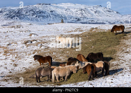 Herd of Icelandic ponies grazing in glacial landscape of South Iceland with Uthlioarhraun mountains behind - Stock Photo