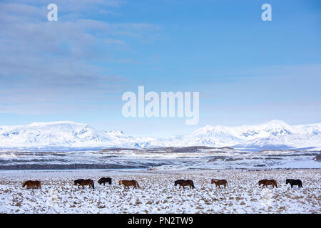 Herd of Icelandic ponies in glacial landscape of South Iceland walking in a line up following the leader - Stock Photo