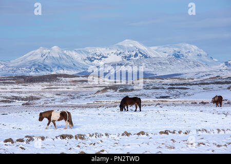 Herd of Icelandic ponies grazing in glacial landscape of South Iceland - Stock Photo