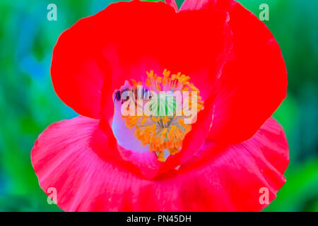 Papaver rhoeas, common names include common, corn, corn rose, field, Flanders poppy or red poppy. Black bee is flying to collect pollen from the red p - Stock Photo