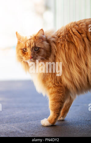 Ginger cat looking intensely - vertical image - Stock Photo