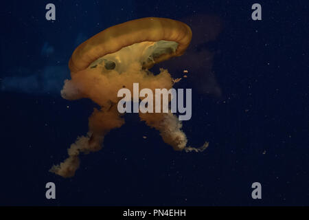 Large Yellow Jellyfish floating in dark water - Stock Photo