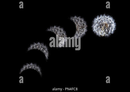 Moon eclipse sequence concept depicted with dandelion - Stock Photo