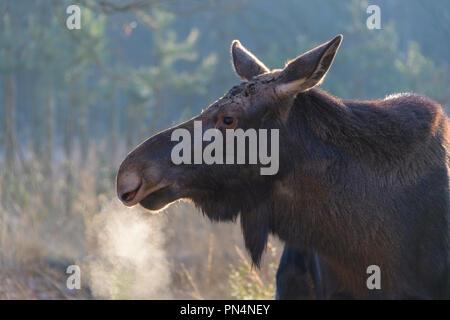 Moose, Elk, Alces alces, in winter, Germany, Europe - Stock Photo