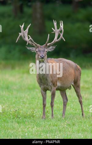 Red Deer, Cervus elaphus, Germany, Europe - Stock Photo
