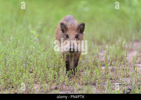 Wild boar, Sus scrofa, Hesse, Germany, Europe - Stock Photo