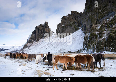 Herd of Icelandic ponies grazing in South Iceland - Stock Photo