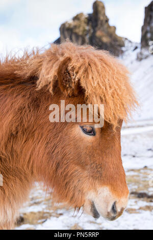 Close-up headshot portrait side view of cute shaggy-haired typical Icelandic pony in South Iceland - Stock Photo
