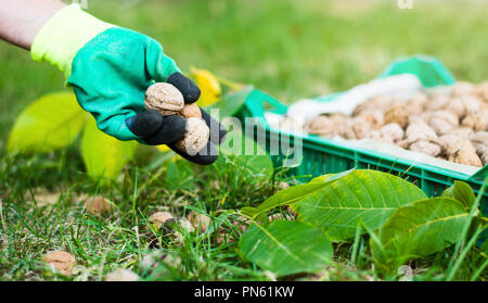 Worker collecting walnuts from the grass with gloves - Stock Photo