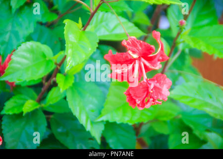 Red double petal vermillion flower of hybrid Hibiscus rosa-sinensis, also known as Chinese hibiscus, China rose, Hawaiian hibiscus, and shoeblackplant - Stock Photo