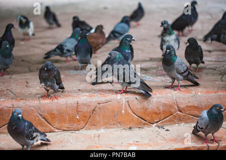 Group of pigeons resting on stairs at a public square in Bucharest, Romania - Stock Photo