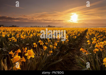 Daffodils blooming in Mount Vernon, Washington at sunrise - Stock Photo