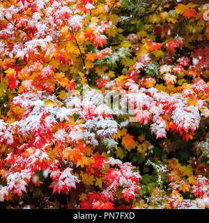 Vine maple leaves in autumn with early snow on them - Stock Photo