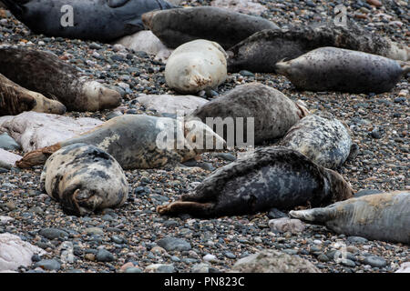 A colony of Grey seals  Halichoerus grypus hauled out on a beach along the North Wales coast during breeding season - Stock Photo