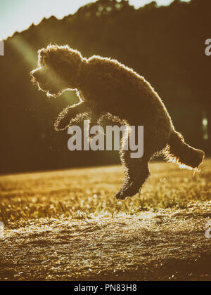 Red haired Cockapoo dog at play in the countryside leaping in the air - Stock Photo