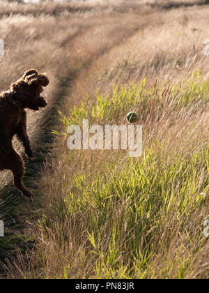 Red haired Cockapoo dog at play with tennis ball in long grass - Stock Photo