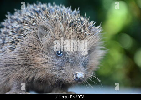 Close up from a hedgehog in front of green nature - Stock Photo