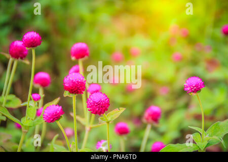 Colorful Gomphrena globosa flower on tree, also known as globe amaranth or bachelor button. The true species has magenta bracts, and have colors such  - Stock Photo