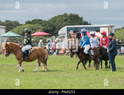Cheshire Country Fair 2018 - Shetland Pony Racing - Stock Photo