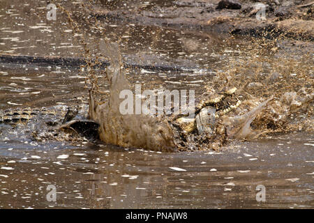 A large crocodile softens up a big catfish before swallowing, Crocodile jaws do not move sideways to chew to food has to be gulped down in a managable - Stock Photo