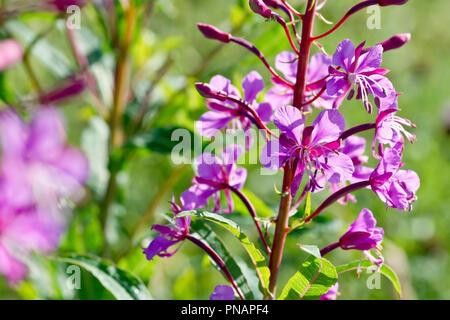 Rosebay Willowherb (epilobium angustifolium or chamerion angustifolium), close up of a group of backlit flowers and buds. - Stock Photo