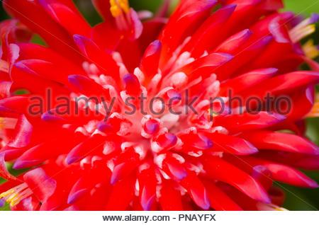Billbergia pyramidalis, Flaming torch, Bromeliad - Stock Photo