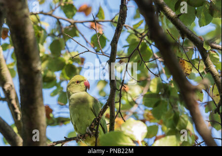 Ring-necked or Rose-Ringed Parakeet (Psittacula krameri) feeding in a tree - Stock Photo