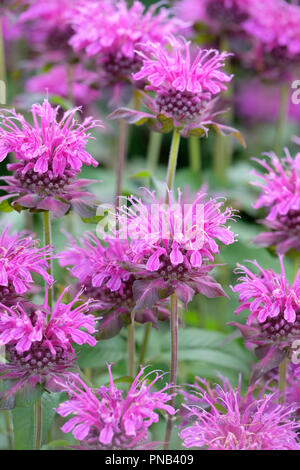 Close-up of flowering Bergamot, Bee balm, horsemint, oswego tea or Monarda 'Violet Queen' - Stock Photo