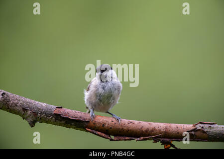 Black Cap on a branch - Stock Photo