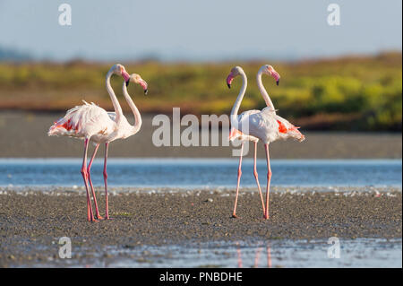 European Flamingo, Great Flamingo, Phoenicopterus roseus, Saintes-Maries-de-la-Mer, Parc naturel régional de Camargue, Languedoc Roussillon, France - Stock Photo