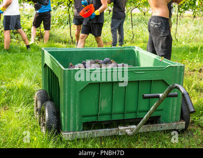 Crate of harvested grapes and rows of vines during the grape harvest in the South Tyrol/Trentino Alto Adige, northern Italy - Stock Photo