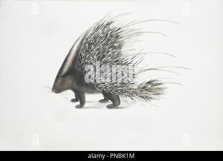 porcupine illustration - Stock Photo