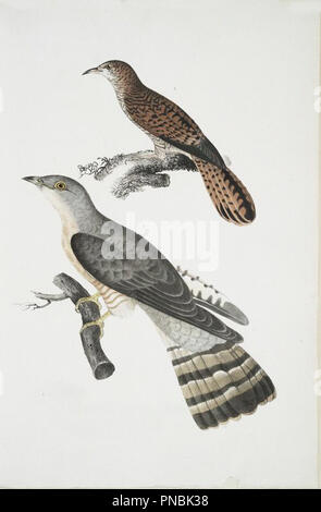 cuckoo illustration - Stock Photo