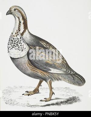 vintage pheasant or partridge illustration - Stock Photo