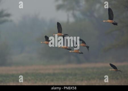 Whistling Ducks - at Bharatpur Bird Sanctuary (Rajasthan - India) - Stock Photo