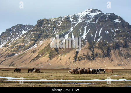 Herd of shaggy-haired typical Icelandic ponies grazing in typical Icelandic landscape in South Iceland - Stock Photo